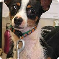 Chihuahua Mix Dog for adoption in Toledo, Ohio - Max