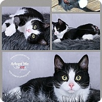 Domestic Shorthair Cat for adoption in Cincinnati, Ohio - Greer