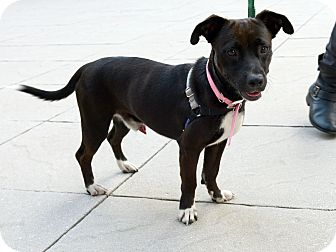 Labrador Retriever/Dachshund Mix Dog for adoption in New York, New York - Clyde