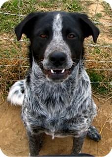 SNOOPY | Adopted Dog | Littleton, CO | Blue Heeler/English ...