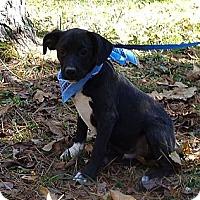 Adopt A Pet :: Hamhock (In New England) - Brattleboro, VT