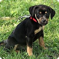 Adopt A Pet :: Gordie - Staunton, VA