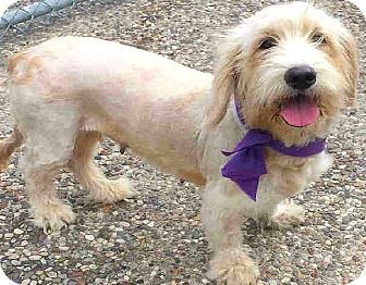 wheaten terrier rescue colorado boulder co wheaten terrier basset hound mix meet 1780