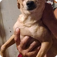 Chihuahua/Dachshund Mix Dog for adoption in San Diego, California - Junebug