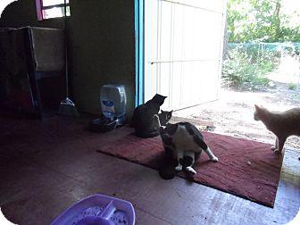 Domestic Shorthair Cat for adoption in Colbert, Georgia - Snip