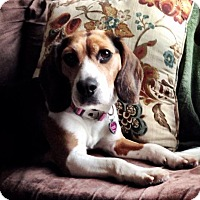 Adopt A Pet :: Lilly - Aurora, IL