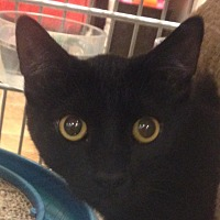 Adopt A Pet :: Shadow - Winchester, CA