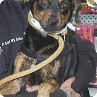 Adopt A Pet :: Chacha - Brooklyn, NY