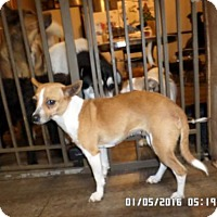Chihuahua/Jack Russell Terrier Mix Dog for adoption in Cortland, Nebraska - Peaches
