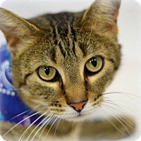 Adopt A Pet :: Tiger - Arlington/Ft Worth, TX