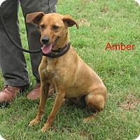 Adopt A Pet :: Amber-Fun Dog - Marlborough, MA
