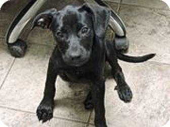 Labrador Retriever/Retriever (Unknown Type) Mix Puppy for adoption in Cottonport, Louisiana - Sophia
