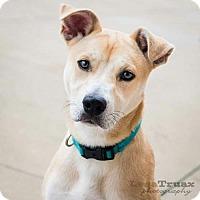 Adopt A Pet :: Winnie (Josey) - Frisco, TX