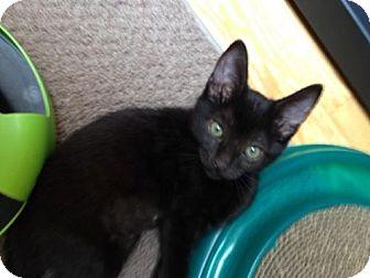 Domestic Shorthair Kitten for adoption in Burbank, California - Bela