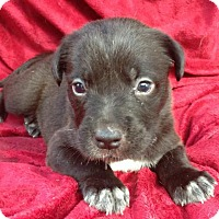 Adopt A Pet :: Cordelia - Boston, MA