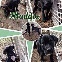 Labrador Retriever Mix Puppy for adoption in Lexington, North Carolina - Maddox