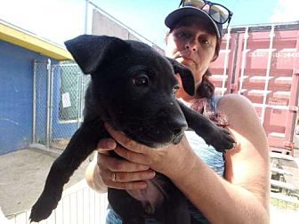 Labrador Retriever Mix Puppy for adoption in Elmsford, New York - Foxi
