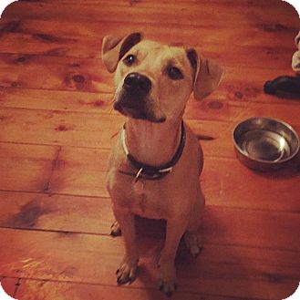 Cattle Dog Mix Puppy for adoption in Chalfont, Pennsylvania - Lilly