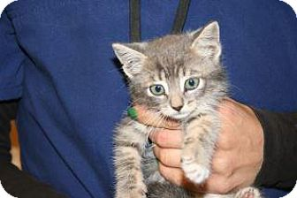 Domestic Shorthair Kitten for adoption in Wildomar, California - Linus