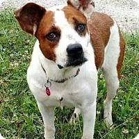 Australian Cattle Dog Mix Dog for adoption in Chicago, Illinois - Bridget 2