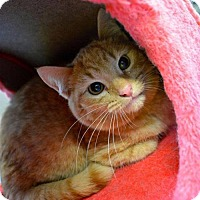 Domestic Shorthair Cat for adoption in Baltimore, Maryland - Clifford