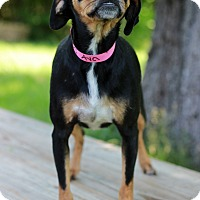 Chihuahua/Pug Mix Dog for adoption in Waldorf, Maryland - Ava