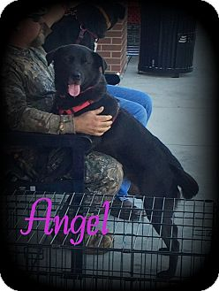 Labrador Retriever/Flat-Coated Retriever Mix Dog for adoption in Denver, North Carolina - Angel