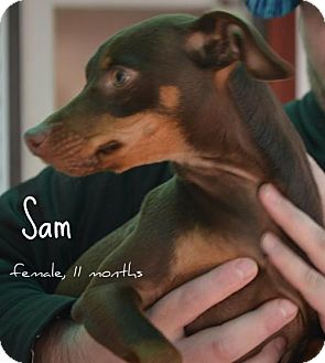 Miniature Pinscher Mix Dog for adoption in Yreka, California - Samantha