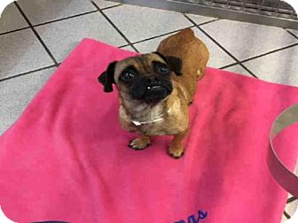 Pug Mix Dog for adoption in Canfield, Ohio - BUBBLES