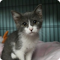 Domestic Mediumhair Kitten for adoption in Tomball, Texas - Mallory