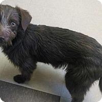 Adopt A Pet :: Sweet Pea - Salem, OR