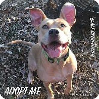 Pit Bull Terrier Dog for adoption in Louisville, Kentucky - Alexis
