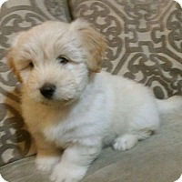 Adopt A Pet :: Frosty  Cockerpoo - Marlton, NJ