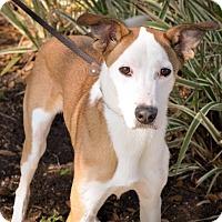 Adopt A Pet :: Gideon - Gainesville, FL