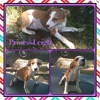 Adopt A Pet :: Princess Leigh in CT - Manchester, CT