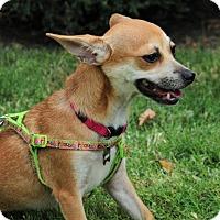 Adopt A Pet :: Carmen - McKinney, TX