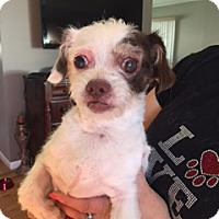 Adopt A Pet :: Little Miss Sunshine - N. Babylon, NY