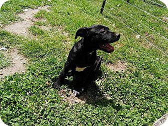 Pit Bull Terrier/Labrador Retriever Mix Puppy for adoption in Harrison, Arkansas - Mercedes