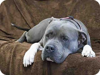 American Pit Bull Terrier Mix Dog for adoption in Agoura, California - Daisy