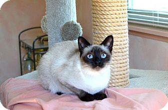 Siamese Cat for adoption in Pinckney, Michigan - Mooshoo