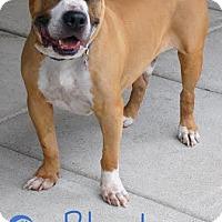 Adopt A Pet :: Rhodes - Newport, KY