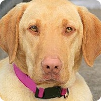 Adopt A Pet :: LYLA(A