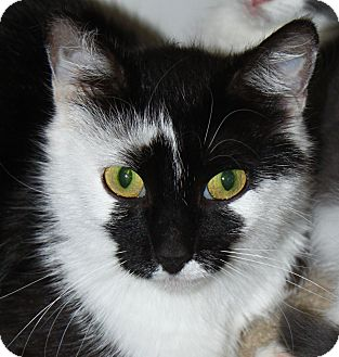 Domestic Shorthair Cat for adoption in North Branford, Connecticut - Petunia