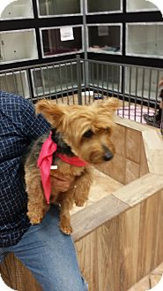 Australian Terrier Dog for adoption in Mesa, Arizona - Trooper