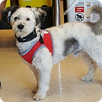 Poodle (Miniature)/Jack Russell Terrier Mix Dog for adoption in San Diego, California - Petey