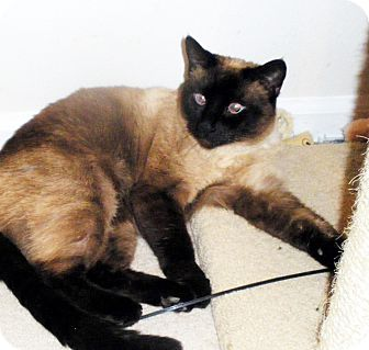Siamese Cat for adoption in Denver, Colorado - LEELA