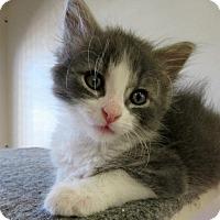 Adopt A Pet :: Chicken - Hillside, IL