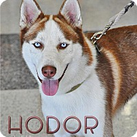 Adopt A Pet :: Hodor--Foster needed! - Carrollton, TX