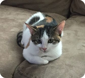 Domestic Shorthair Kitten for adoption in Houston, Texas - Bitsy