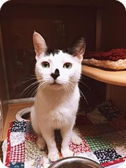 Domestic Shorthair Cat for adoption in Plymouth Meeting, Pennsylvania - Panda